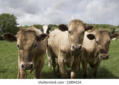 Friendly jersey cows in field