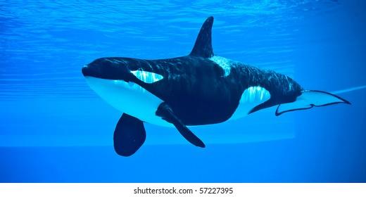 Friendly Killer Whale