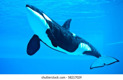 friendly killer whale, orca