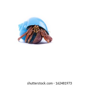 A friendly little hermit crab in a blue shell looks at you