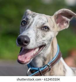 Friendly looking whippet on green background