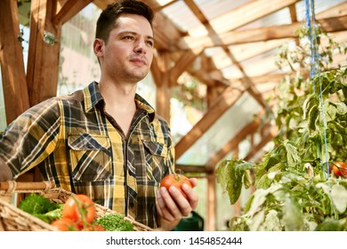 Friendly man harvesting fresh tomatoes from the greenhouse garden putting ripe local produce in a basket