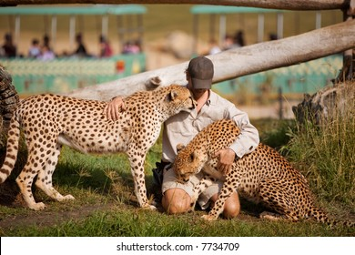 A friendly man petting cheetahs.