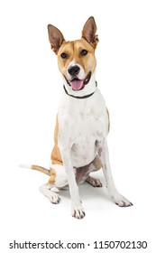 Friendly mixed large breed dog with happy expression sitting on white and looking forward