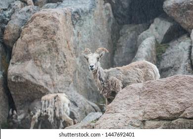 Friendly Mountain Goats Climb along side a road on a Colorado Rocky Mountain 14er in the rain.