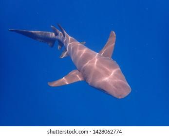 the friendly nurse shark is swimming in Indian ocean