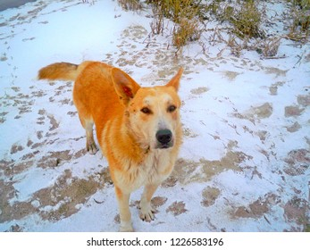 friendly old red dog on riverbank sand covered with snow