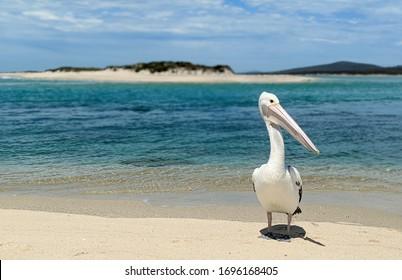 Friendly pelican, Flinders Island, Tasmania