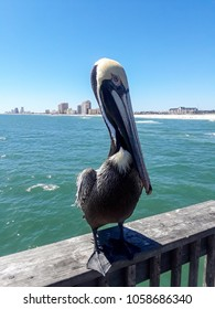 Friendly Pelican poses for a photo in Orange Beach, Alabama