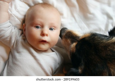 A friendly pet German Shepherd Dog is kissing and snuggling a newborn infant.
