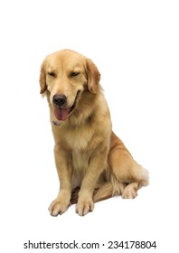friendly pure breed golden retriever isolated in white background with clipping path
