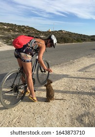 Friendly Quokka sniffing at cyclist girl  on street in Rottnest Island, near Perth in Western Australia. Smiling woman on bicycle interacts with a Quokka, icon of island.