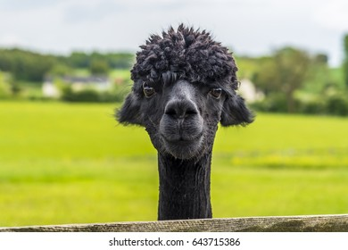 An friendly, recently sheared, black coloured Alpaca in Charnwood Forest, UK on a spring day, shot with face focus and blurred background