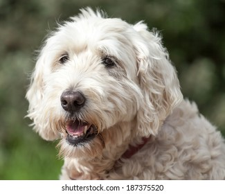 Friendly Soft Coated Wheaten Terrier with collar outside looking away