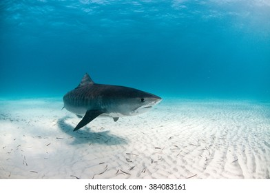 A friendly tiger shark swimming by with an inquisitive look
