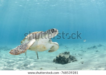 Friendly turtle near the sand in blue water