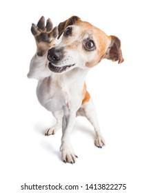 Perro de garra que ondea amigablemente. Pequeña mascota de alegría. Disfrutando del perro positivo