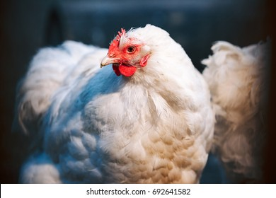 Friendly white hen in a farmyard is a good egg producer as well as keeping worms and bugs under control