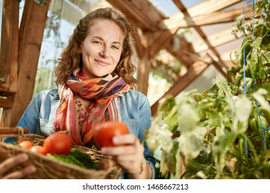 Friendly woman harvesting fresh tomatoes from the greenhouse garden putting ripe local produce in a basket