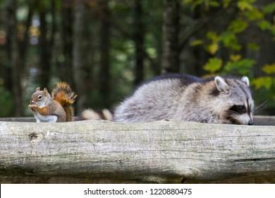 Friends,  American red squirrel (Tamiasciurus hudsonicus) and  common raccoon (Procyon lotor)