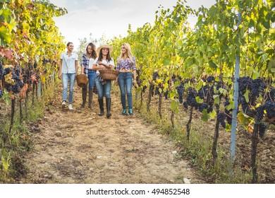 Friends gathering gathering grapes in basket in vineyard during harvest
