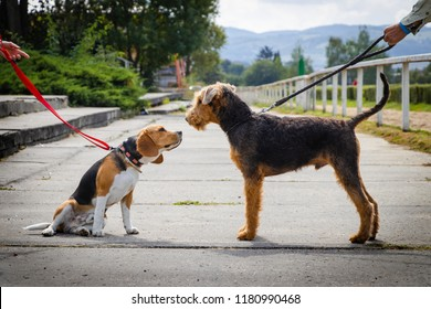 Friendship between two dogs on walk. Beagle and Airedale Terrier