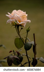 for friendship - white rose with bud