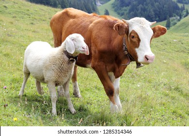 friendship with white sheep and little cow on a field