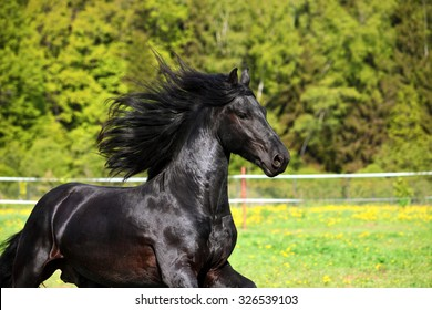 Friesian black horse with long mane in autumn background