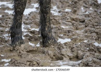 Friesian colt stands in a muddy field