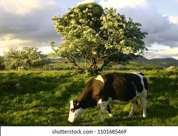 Friesian cow grazing at hawthorn tree on May evening, Sligo, Ireland