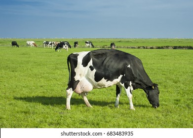 Friesian cow (Holstein cattle) with full udders in the Netherlands.