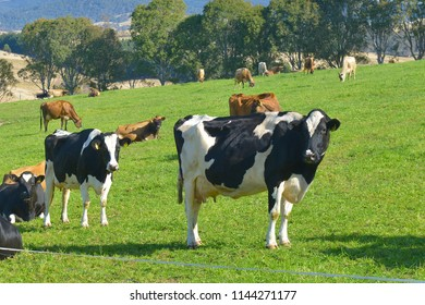Friesian cows and Jersey, this herd of cows grazing in the Bega shire of NSW Australia, here rich grass and temperate climate make for high quality production of milk and cheese.