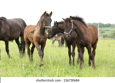 Friesian foals on pasturage together in green grass