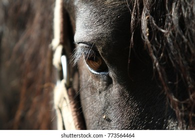 Friesian horse eye