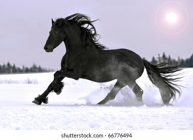 Friesian horse gallop in winter