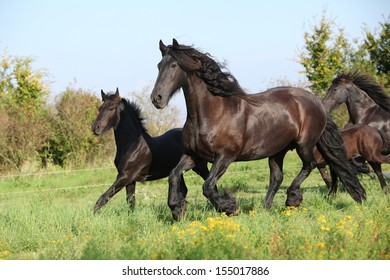 Friesian horse mare with foal running in autumn