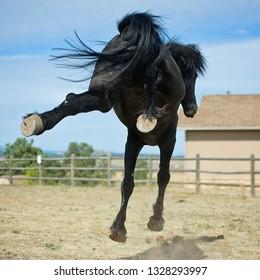 Friesian Horse Playing