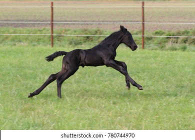 Friesian horse portrait foal running