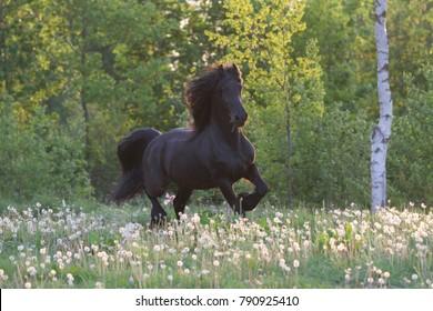 Friesian horse running