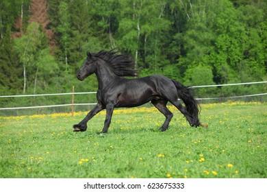 Friesian Horse stallion runs through wild meadow