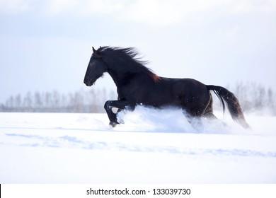 Friesian Horse at winter