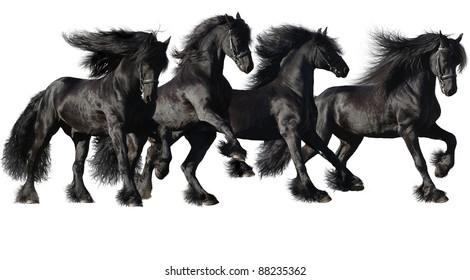 Friesian horses isolated on white