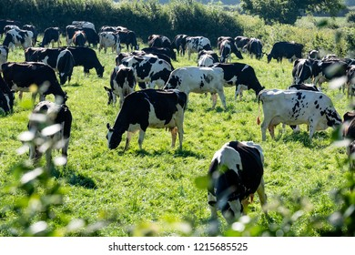 Friesian milking cows in a field Carmarthenshire Wales