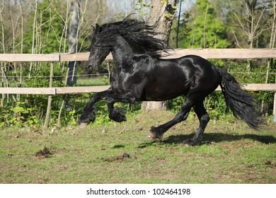 Friesian stallion galloping