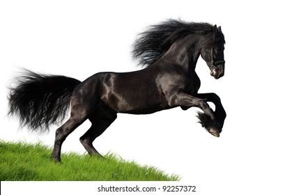 Friesian stallion isolated on white background