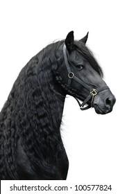 Friesian stallion on a white background