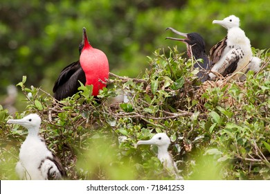 Frigate Bird Family With Predominant Male Expressing His Authority
