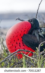 Frigate Bird inflating it's pouch