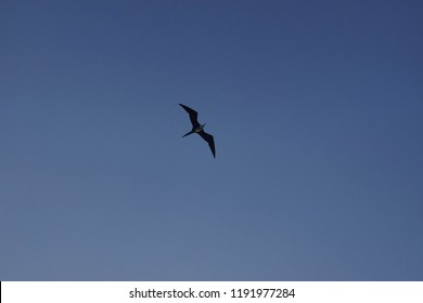 Frigate bird soaring above the Panama Canal